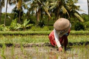 Credits-Rice Planting
