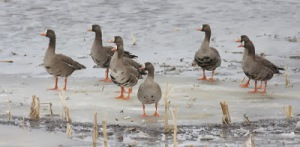 Geese on Frozen Lake