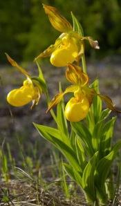 large_yellow_lady's_slipper