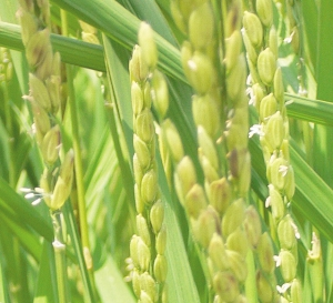Rice-Blossoms