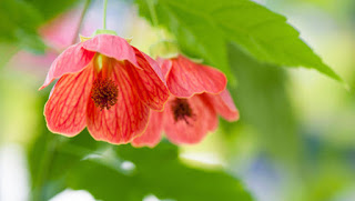 how_to_grow_chinese_lanterns_abutilon_19sc8ub-19sc8uf