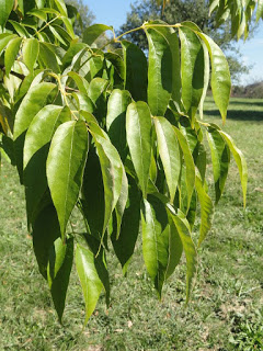 fraxinus_americana_white_ash_leaves_lg.jpg