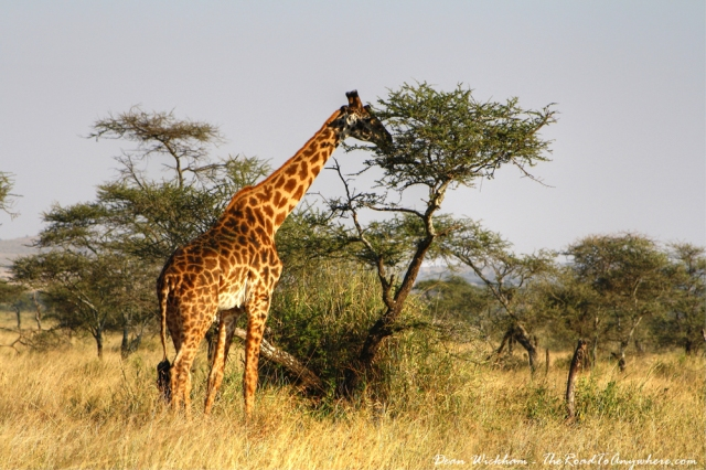 giraffe-eating-serengeti
