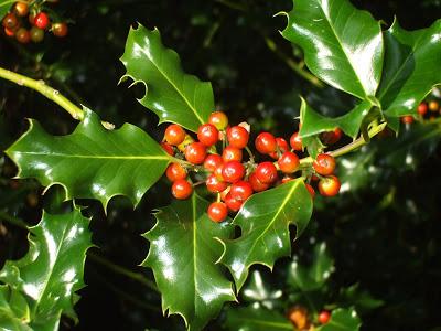 holly-tree-5