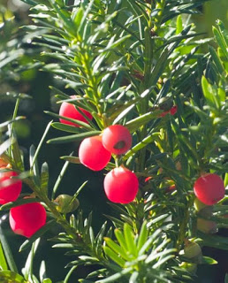 yew-tree-