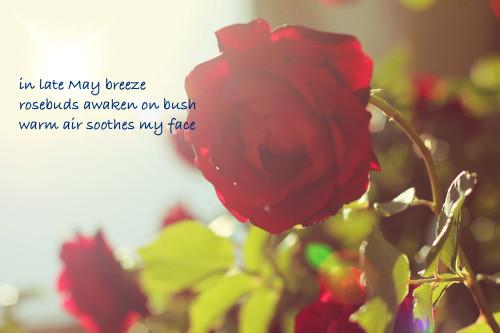 rosesnatureflowerroseflowerscooly-9c66f6f34b2b438b49d7b33e7bc473ed_h