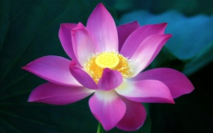 pink-lotus-flowers-wallpapers-hd-pictures