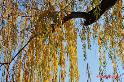 autumn-willow
