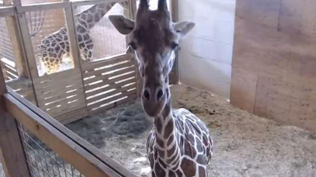 April Giraffe