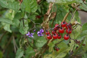 Solanum-nigrum-berries
