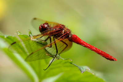 Red Dragonfly, Seattle, WA