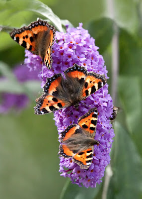 butterflies on buddleia