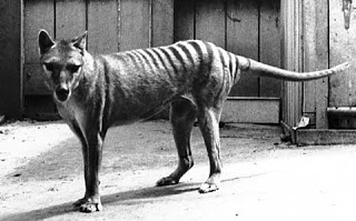 tasmanian-tiger-photo