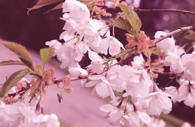 blossom haze