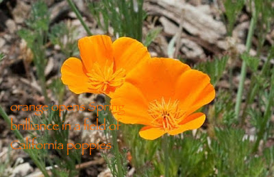 california-poppy-herb.jpg