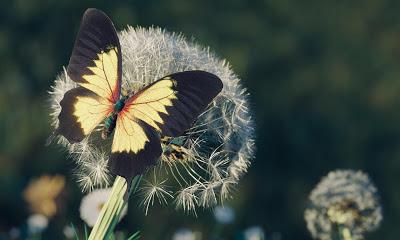 dandelionbutterfly