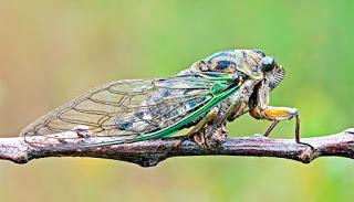 cicada_1600