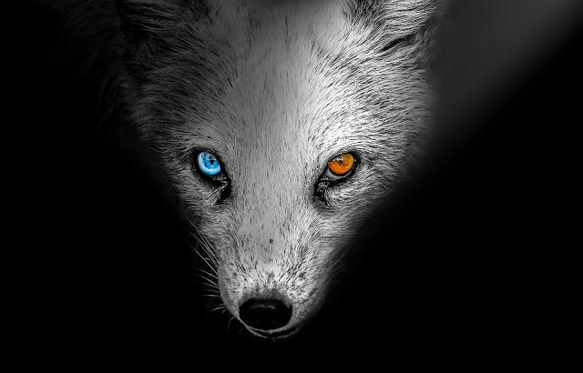arctic-fox-4153630_1920