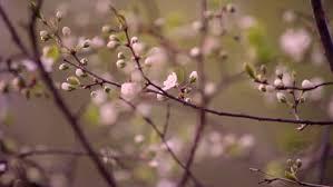 cherry buds