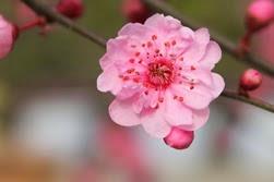 plum-flower_thumb
