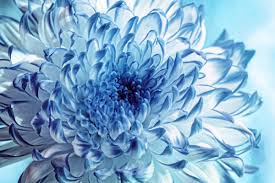 winter chrysanthemum